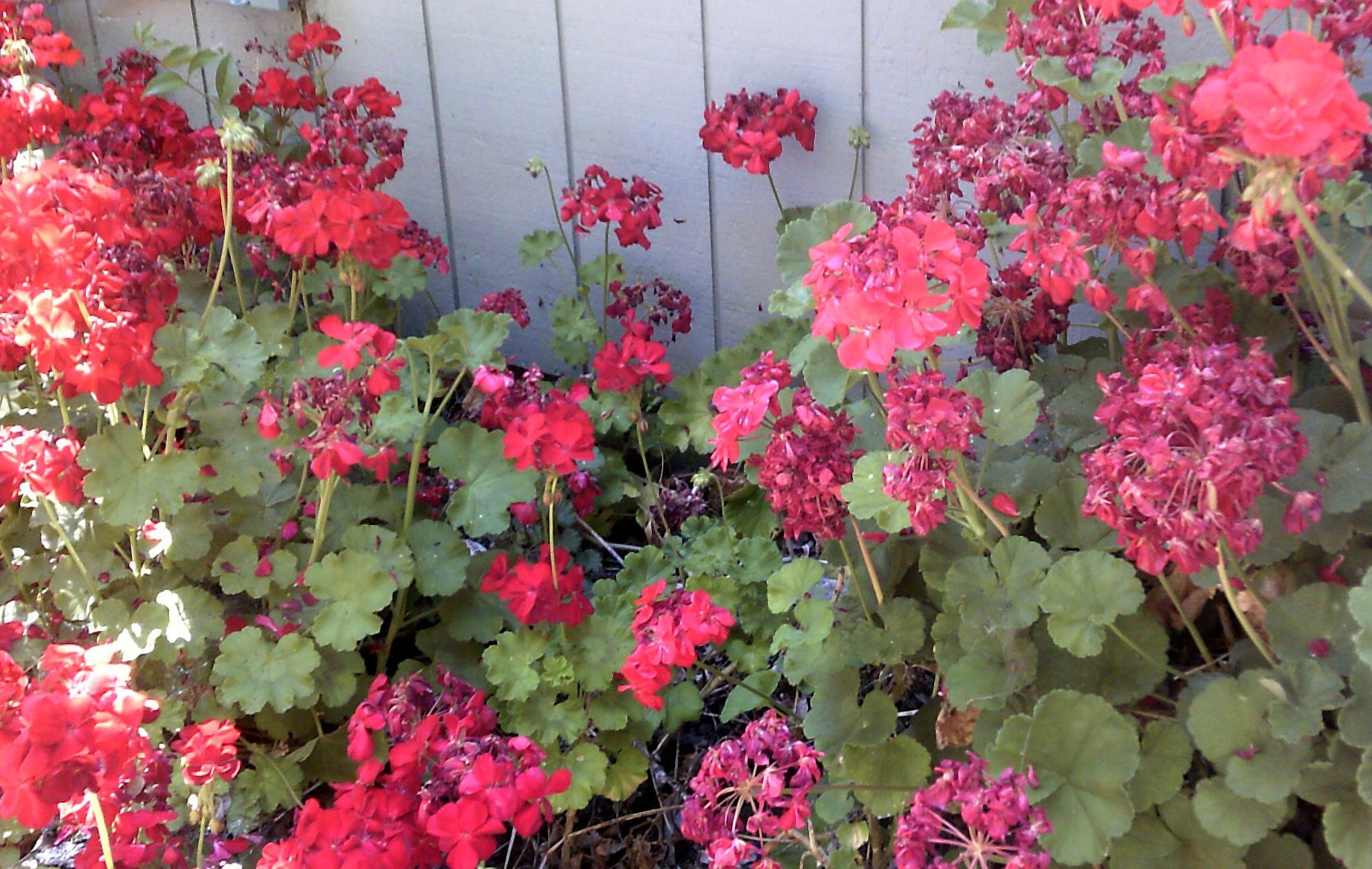geraniums_in_my_garden_201305